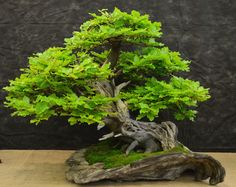 Bonsai: Fagus sylvatica ヨーロッパブナ