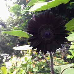"Take A Look At This Woman's All Black Garden - Here's How You Can Grow Black Flowers Yourself Black Sunflowers Just like regular sunflowers, they grow super tall and look completely stunning! ""I know I've posted blooms of this flower in the past, but man Black Dahlia, Black Tulips, Black Flowers, Simple Flowers, Spring Flowers, Garden Plants, House Plants, Flowering Plants, Noir Ebene"
