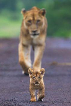 Mother lion and cub, posted via intothenatureandart.tmblr.com