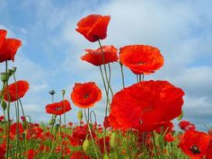 In Flanders fields the poppies blow        Between the crosses, row on row,     That mark our place; and in the sky     The larks, still bravely singing, fly  Scarce heard amid the guns below.    We are the Dead. Short days ago  We lived, felt dawn, saw sunset glow,     Loved and were loved, and now we lie           In Flanders fields.  Take up our quarrel with the foe:  To you from failing hands we throw     The torch; be yours to hold it high.
