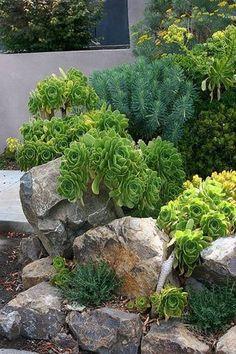 Rock garden ideas with euphorbia and aeonium pslants