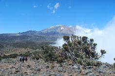 The last few giant heathers on the Lemosho Route, Day 3, Shira Plateau.