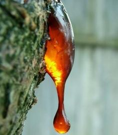 Myrrh oil is extracted from Commiphora myrrha and is also known as bola, myrrha, gum, common and hirabol myrrh. It is a small tree that can grow up to 5 meters (16 feet) high with light bark and knotted branches, few leaves and small white flowers. It is native to Somalia, Arabia and Yemen.    When the bark is cut, the gum resin exudes as a pale yellow liquid, which dries into reddish-brown lumps the size of a walnut from which the oil is distilled. *Myrrha is the associated Deity