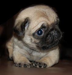 Pug puppy side eye