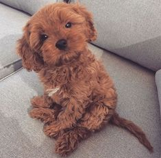Cavapoo (Cavalier King Charles x Poodle)Puppies: Information, Characteristics, Facts, Videos - DOGBEAST Super Cute Puppies, Cute Little Puppies, Cute Little Animals, Cute Dogs And Puppies, Cute Funny Animals, Cute Babies, Doggies, Teddy Bear Puppies, Adorable Puppies