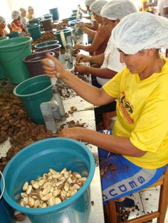 Brazil nut breaking. Still a pre-industrial task, with Amazonian women doing most of the work. No big, sophisticated machines here. Massage oils, soaps and creams are the main products AmazonDrops manufactures using Brazil nut oil.