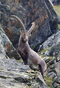The majestic Alpine ibex Photo by Guido Frazzini – National Geographic Your Shot Animals With Horns, Animals And Pets, Baby Animals, Funny Animals, Cute Animals, Ibex Goat, Alpine Ibex, Hirsch Tattoo, Cutest Animals