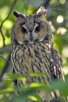 LONG-EARED OWL See all 8 photos There are well over 100 species of owls in the world. Beautiful Owl, Animals Beautiful, Cute Animals, Owl Photos, Owl Pictures, Owl Bird, Pet Birds, Funny Bird, Elf Owl