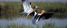 Whooping Cranes at Neceda National Wildlife Refuge, WI