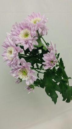 Krysantemum - Chrysanthemum