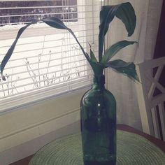 #Uutta aina #vanhasta #juuret odottavat #multaa #lehdet#kaunista #ruukkua #kevät #ruukkukasvien#hoitoaika