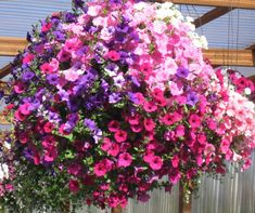 Petunias just love the sun, and now with the many new varieties of Petunias on the market – the days of having to dead head your plant of its flowers to encourage more flowers is over.