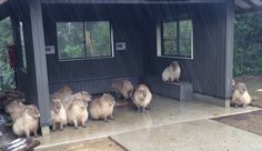 Capybaras+take+shelter+from+rain+the+best+way+they+know+how:+by+being adorable