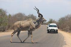 Kudu Crossing - South Africa [OC] [5184 x 3456]