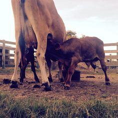 Milk in the morning, milk in the evening. Just another daily chore out on the ranch. This jersey provides everything these young calves need to grow. #jerseycows #ranchlife #calves #milking