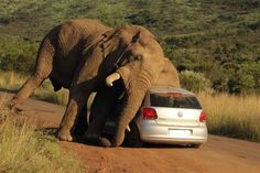 An elephant in South Africa scratched an itch at the expense of a car. Photo by Armand Grobler