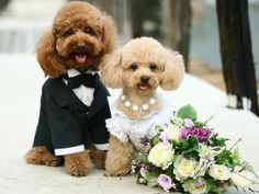 Have you ever seen such a happy couple? This bride and groom poodle puppy couple shines bright on their wedding day with the groom's tux and the bride's white dress with matching pearls. Surely a day for everyone to remember. Cute Puppies, Cute Dogs, Dogs And Puppies, Doggies, Maltese Dogs, Chihuahua, Animals And Pets, Baby Animals, Cute Animals