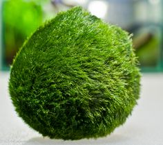The Moss Ball is a spongy velvet-like green algae ball that in the wild is found around Japan and Northern Europe. They were once thought to be extremely slow growing, but recent studies suggest that…