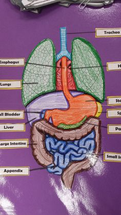 I'm starting a page on my website for the Human Body Project we are doing in health class. Each quarter we are going to be adding another system to our posters. We are only on System More pics to come. Human Body Science, Human Body Activities, Human Body Unit, Human Body Systems, 6th Grade Science, Science Fair, Science For Kids, Life Science, Science Classroom
