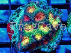 FC Sourblood Favia #coral #reef #tank http://www.fragcave.com/fc-sourblood-favia/