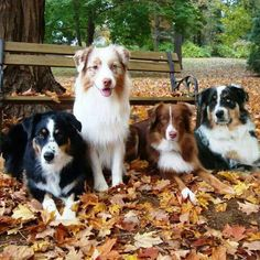 Best Screen mini Border Collies Strategies The actual Perimeter Collie hails in the borderlands with He uk along with Scotland (hence the particular iden. Australian Shepherd Training, Mini Australian Shepherds, Australian Shepherd Puppies, Aussie Puppies, Dogs And Puppies, Doggies, American Shepherd, Aussie Shepherd, Blue Merle