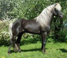 icelandic horses | Blue dun on icelandic horse | Horses - Fjord  Icelandic