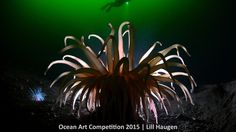 1st place, cold water category, 'Anemone Light'  A North Sea anemone, found deep in the waters of the Oslo Forjd, Norway, was backlit with a strobe to produce this winning shot. | www.piclectica.com #piclectica