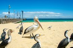 Pelicans and Shags at Tangalooma Island Resort, Australia Us Travel, Places To Travel, Places To Visit, Queensland Australia, Australia Travel, Tasmania, Saint Helena Island, Land Of Oz, Island Resort
