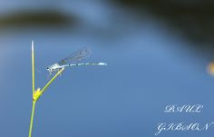Common blue damselfly, Canop Ponds, Forest of Dean, photographer Paul Gibson