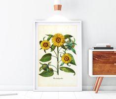 Sunflower Illustration, Botanical Illustration, Floral Illustrations, Illustrations Posters, Botanical Wall Art, Sunflower Print, Botany, Original Image, Sunflowers