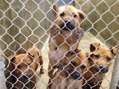 OWNER SURRENDER SHEP MIX PUPS  less than 4 months****Need fosters or adopters!!!**** Kennel I20 - Available NOW**$35 to adopt Located at Odessa, Texas Animal Control https://www.facebook.com/speakingupforthosewhocant/photos/a.248402621850650.69312.248355401855372/735279806496260/?type=1&theater