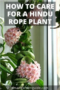 How To Care For a Hindu Rope Plant (Hoya Carnosa Compacta) – Smart Garden Guide - Modern Cactus Plants, Garden Plants, Cactus Art, Cactus Decor, Hoya Plante, Hindu Rope Plant, Big Indoor Plants, Indoor Flowering Plants, Indoor Cactus
