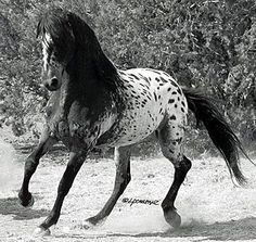 El Caballo Tigre, from Spain, and the oriental Heavenly Horses once used to hunt the Siberian Tiger. Fortunately before going extinct, the exotic spotting genes of those early breeds, plus many of their original characteristics, began arriving in the USA in a mixture of related breeds, some 300 years ago. Todays Tiger Horse is a larger, longer living version than the Heavenly Horses from which they descend