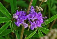 Λυγαριά βότανο κατάλληλο για γυναικολογικά προβλήματα πόνους περιόδου ακμή αντιαφροδισιακό