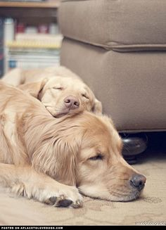 Golden Retrievers Snuggling   ...........click here to find out more http://googydog.com    P.S. PLEASE FOLLOW ME IN HERE @Yulia Bekar Bekar watson