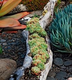 Succulents in an old log/limb.