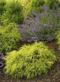 evergreen shrubs | Evergreen Shrubs | Arrowhead Landscaping and Garden Center, LLC