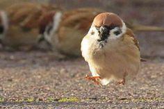 Just hopping along Pretty Animals, Cute Animals, Fat Bird, List Of Birds, The Floor Is Lava, Sparrow Bird, Cute Japanese, Bird Drawings, Cute Birds