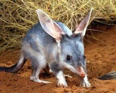 Bilby - lives in: south-west Queensland, Western Australia, Northern Territory. eats: insects and their larvae, seeds, spiders, bulbs, fruit, fungi, and very small animals. length: 11 to 22 in. about the size of a rabbit. Marsupial. vunerable.