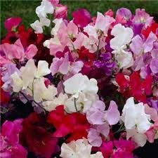 sweet peas gorgeous and easy...growing up a trellis or fence - we love them...come up every year!!