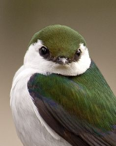 Violet-green swallow.  Beautiful color pattern and sweet appearance, this swallow lives only in America and nests in cavities in a tree or rock crevice.