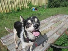 Gigi is an adoptable Chihuahua Dog in Bogart, GA. Gigi was on craigslist looking for a home and looking really rough. Half her hair was missing and she was wandering around a neighborhood in Decatur a...