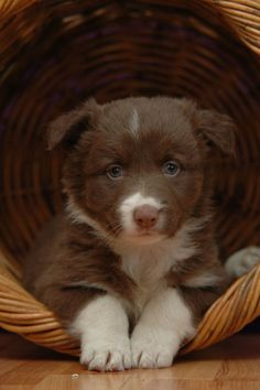 Red and White Border Collie