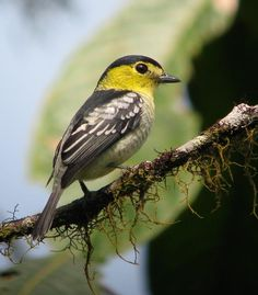 Barred Becard - highlands from Costa Rica to northwestern Ecuador and northern Bolivia
