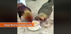 The family that eats together stays together. A rooster, a hen and some cute little chicks share a happy meal in the video clip below. Eat Together, Video Clip, Poultry, Fish, Meals, Chicken, Happy, Cute, Animals