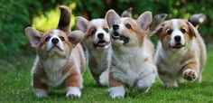 So many Corgis :D