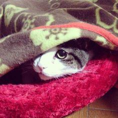 寝てたのに♡私が帰ってきたのに気付いて♡チラッ♡ キュン( ¤̴̶̷̤́ ‧̫̮ ¤̴̶̷̤̀ ) #catstagram #instacat #ねこ #にゃんこ #ねこもふ #ぬこ #ネコ #猫 #サバ白 #ハチワレ #kitten #neko #cat #ねこ部 #世界一可愛いねこ
