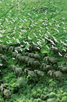 Elephants on the Move at Murchison Falls National Park; (Vintage National Geographic via Nature Explorer). National Geographic Photography, Wildlife Photography, African Elephant, African Animals, Parc National, National Parks, Beautiful Creatures, Animals Beautiful, Save The Elephants