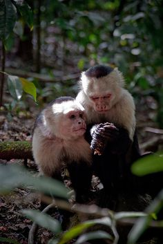 Capuchin monkeys in Manuel Antonio National Park, Costa Rica.