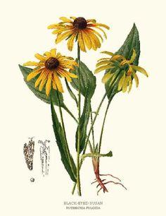 Black Eyed Susan Flower Botanical Art Print